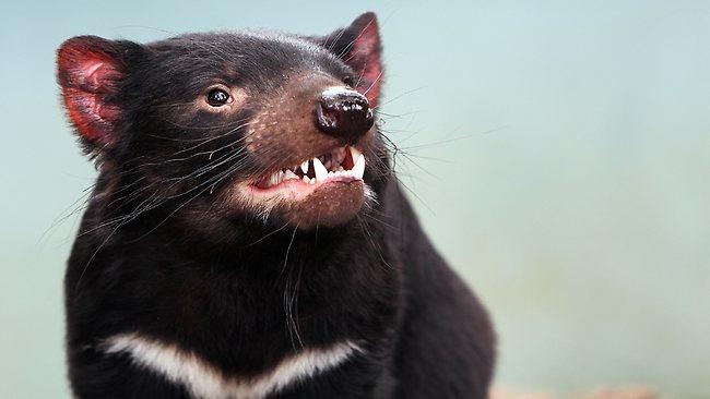 010050-tasmanian-devil